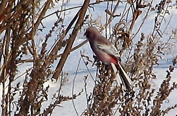 НаТаганае появились азиатские птицы